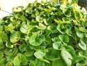 Asiatic Pennywort Extracts