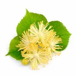Linden Blossom Absolute Oil nbsp