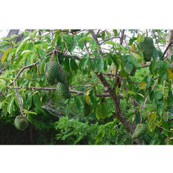 Cancer Fruit Plant