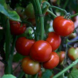 Hybrid Tomato Seeds TM- 1105