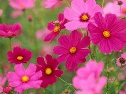 Pink Cosmos Flower Seeds