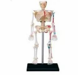 Mvtex Natural Human Skeleton Model, For Medical