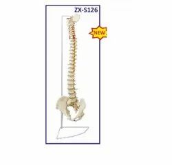 ZX-S126 Vertebral Column Flexible Model Life Size