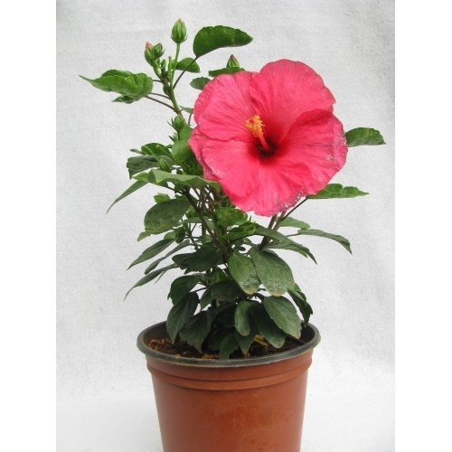 Hibiscus Plant At Rs 150 Piece Sector 17 Chandigarh Id