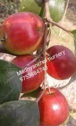 Red Apple Ber