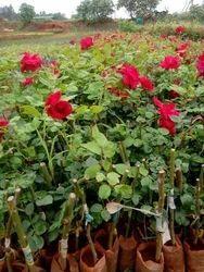 Divine. Hybrid Rose Plants