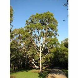 Eucalyptus Citriodora Tree