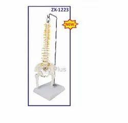 ZX-1223 Spinal Column Model Half Size