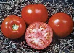 Hybrid Tomato Seed
