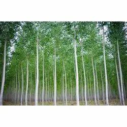 Eucalyptus Grandis Tree