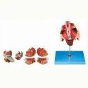 Female Genital Organs Model