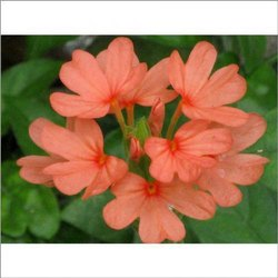 Fresh Kanakambaram Flower