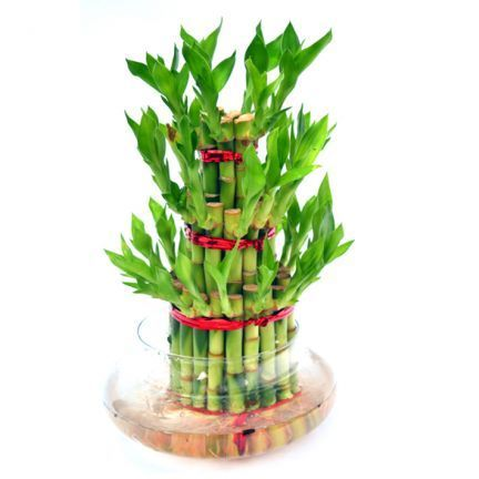 3 layer lucky bamboo tree at rs 300 piece लक ब म ब