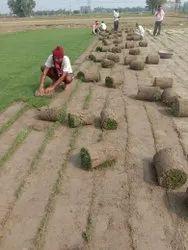 Well Watered Natural Garden Grass, For Garden, Lawn
