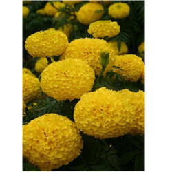 Marigold Flower Seeds MG- 62