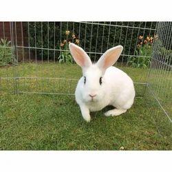 White Giant Rabbit