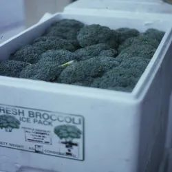 A Grade Green Broccoli, Packaging Type: Thermocol, Packaging Size: 5 Kg