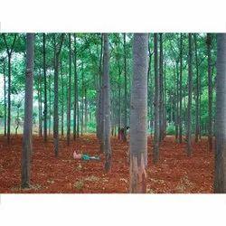 Meliadubia Tree