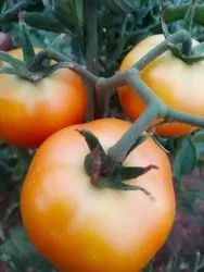 Natural Tomato Seeds F1 super hybrid seeds, For Agriculture, Packaging Size: 10 Gram