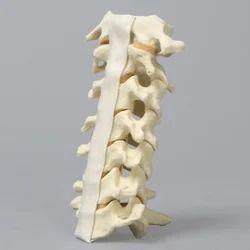 Spine Cervical Model