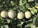 Dhruvi F-1 Hybrid Muskmelon Seeds