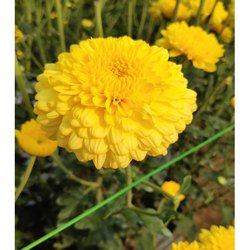 Purwa Yellow Chrysanthemum Plant