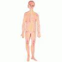 Human Nervous System Models