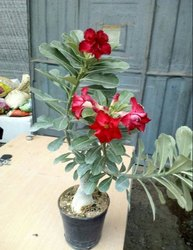 Green Full Sun Exposure Adenium Desert Rose Plant, For Gardening