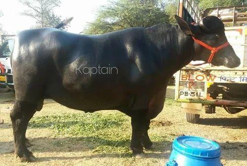 Nand Pari Dairy Farm, Karnal - Wholesale Trader of Breed