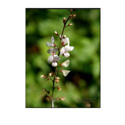 Salparni (Desmodium Gangeticum)