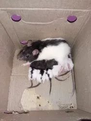White Rat - Wholesale Price for White Mouse in India