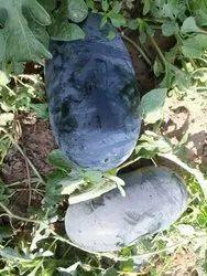 Super Sagar King Watermelon, Packaging Size: Lose