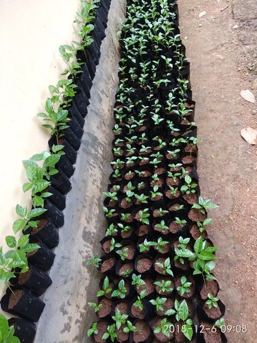 Passion Fruit Plant Passion Fruit Red Seedlings Service Provider From Thrissur