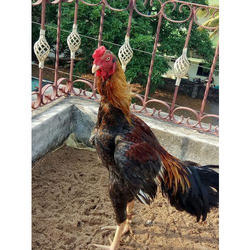 Country Chicken - Wholesale Price & Mandi Rate for Desi Chicken