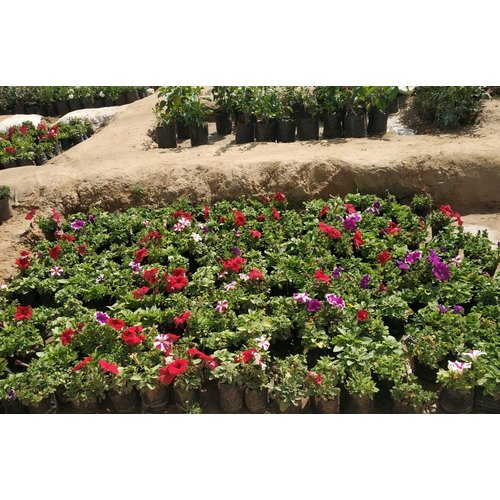 Well Watered Pitunia Seasonal Plant For Garden