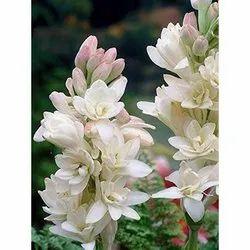 Decoration White Rajnigandha cut Flower