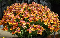Jakirana Flower Plant