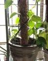 COIR GARDEN 3 Feet Money Plant Coir Pole
