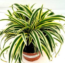 Chlorophytum Lemon N Lime Indoor Plant, Indoor Potted Plants 2 ...