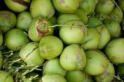 Real A Grade Tropa Green Coconut Of Saurashtra, Packaging Size: 1.50, Coconut Size: Medium