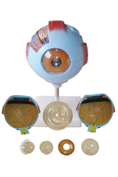 Kay Kay Giant Eye Model