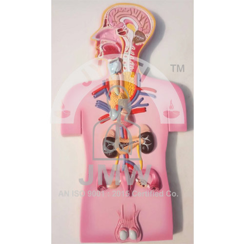 Human Endocrine Gland Model   Jyoti Model Works   Manufacturer in ...