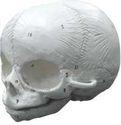 Human Fetal Skull Model