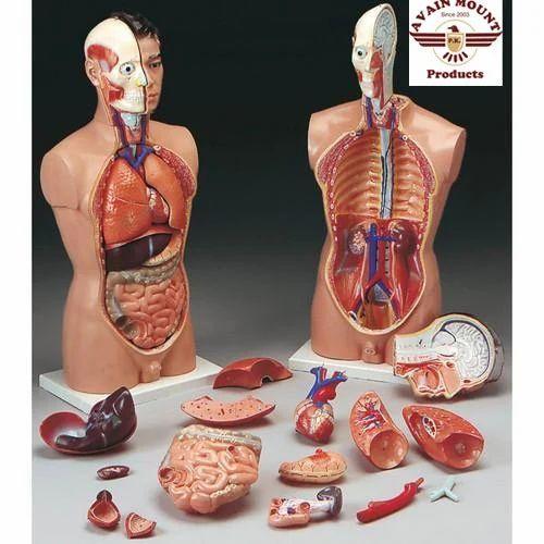 Anatomical Models at Rs 110 /piece | Gandhi Nagar | Ambala | ID ...