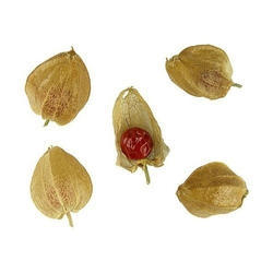 "25 seed Withania Somnifera Indian Ginseng /""Ashwaganda/"""
