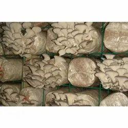 Natural Oyster Mushroom Spawn, Packaging Size: 500gm- 2kg, Packaging Type: Pp Bag