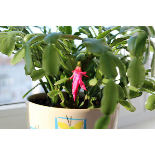 Christmas Cactus Plant.Christmas Cactus Plant