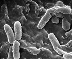 Pseudomonas Denitrificans Probiotics