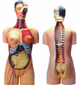 Human Torso Female Model