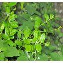 Gymnema Sylvestre Herbs